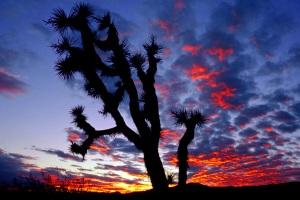 """Joshua Tree Silhouette"" by Steve Sears"